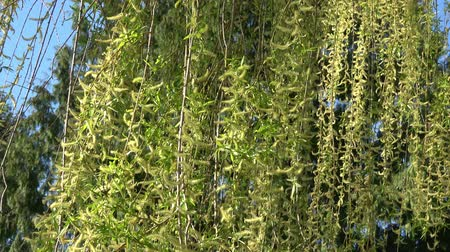 söğüt : Spring willow branches. Spring willow tree in bloom.