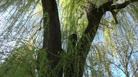 kwiecień : Spring willow branches. Spring willow tree in bloom.