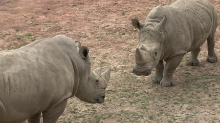 рог : Southern white rhinoceros (Ceratotherium simum simum). Wildlife animal. Critically endangered animal species.
