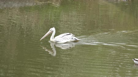 pelicans : Pelican on water (Pelecanus rufescens). Water birds. Stock Footage