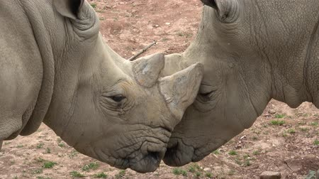druh : Southern white rhinoceros (Ceratotherium simum simum). Wildlife animal. Critically endangered animal species.