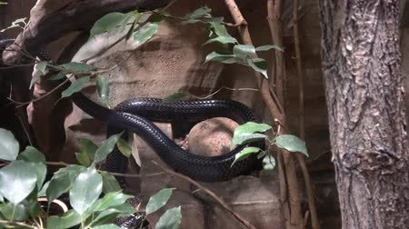 deadly : Black Mamba (Dendroaspis polylepis) is extremely venomous snake