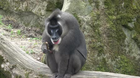 baboon : Drill monkey, Mandrillus leucophaeus, resting in the nature habitat area. Critically endangered species animals.