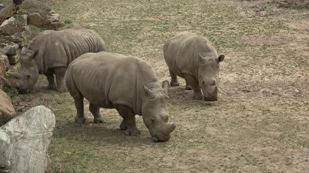 boynuzları : Southern white rhinoceros (Ceratotherium simum simum). Wildlife animal. Critically endangered animal species.