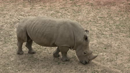 rhinocerotidae : Southern white rhinoceros (Ceratotherium simum simum). Wildlife animal. Critically endangered animal species.