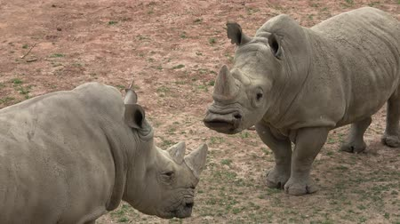 rhinocerotidae : Southern White Rhinoceros (Ceratotherium simum simum). Critically endangered animal species.