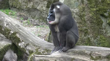 baboon : Drill monkey, Mandrillus leucophaeus, resting in nature habitat area. Critically endangered species. Stock Footage