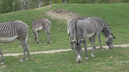costela : Zebra herd was eating grass (Equus grevyi)  t Vídeos