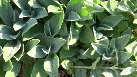 perene : Young Leaves of Lambs-ear Plants (Stachys byzantina)  t Stock Footage