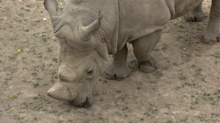 white rhino : Southern White Rhinoceros (Ceratotherium simum simum). Wildlife animal. Critically endangered animal species.