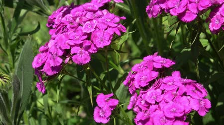barbatus : Beautiful colorful Dianthus flower (Dianthus chinensis) blooming in garden