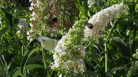 Butterfly in a white flower with a large bumblebee in the background.