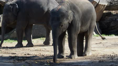 Indian elephant (Elephas maximus indicus). Cute baby elephant