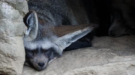 Otocyon megalotis sleeping on a ground.Two bat eared fox resting