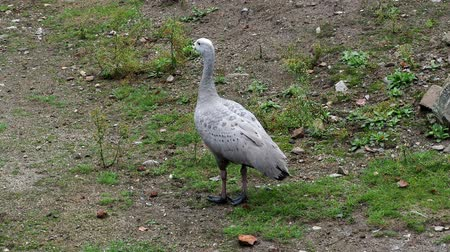 tasmania : The Cape Barren Goose (Cereopsis novaehollandiae) Stock Footage