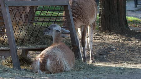 Llama on a farm outdoors Wideo