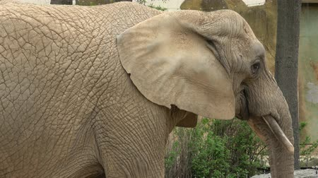 African bush elephant (Loxodonta africana) Stockvideo