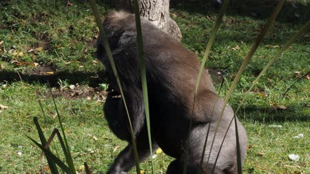 Lowland Gorilla (Gorilla Gorilla gorilla) looking for food on the ground