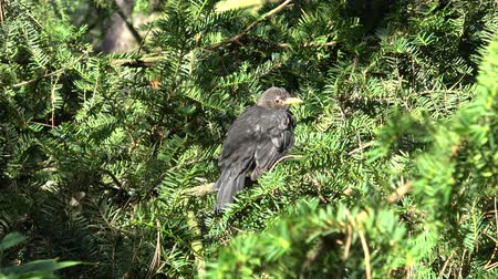 poleiro : Little black bird on tree