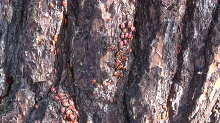 havlama : Red-spotted Beetles (Pyrrhocoris apterus) sitting on the bark of a tree.