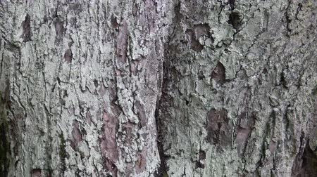 liken : Lichens on tree bark, Lichens are symbiotic fungi and algae.