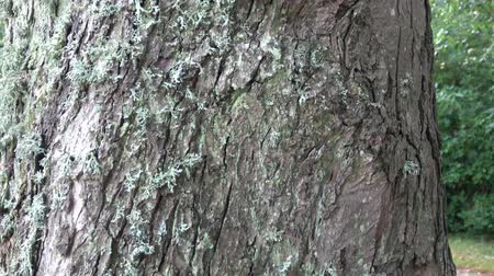 樹皮 : Lichens on tree bark, Lichens are symbiotic fungi and algae.