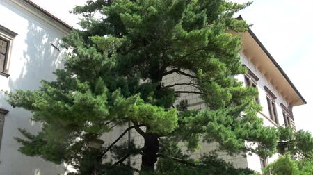 インナー : An old pine tree in the inner courtyard of the medieval castle
