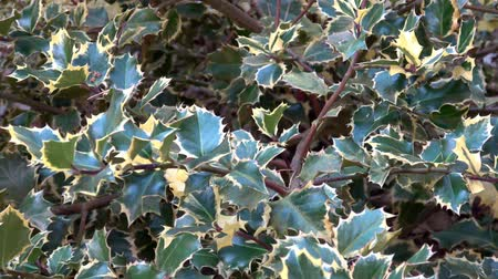 падуб : Ilex or holly tree branches in the outdoor garden. Ilex aquifolium (Rubricaulis Aurea, Argentea Marginata or Silver Queen)