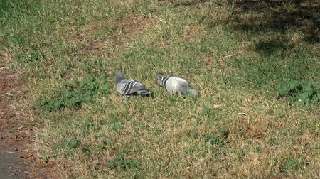 전령 : Two pigeons in meadow looking for food