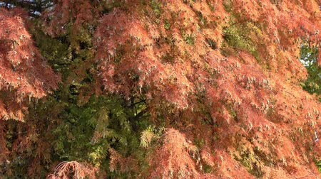 cypřiš : Taxodium Distichum in Fall Color with Red, Orange, Green Dostupné videozáznamy