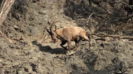 ismert : Male West Caucasian tur (Capra caucasica), also known as the West Caucasian ibex. Wildlife animal.