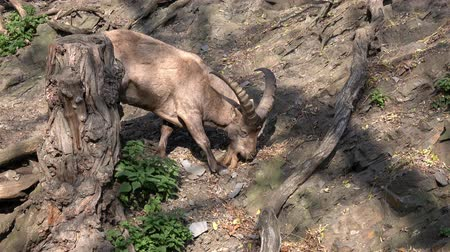 horned : Male West Caucasian tur (Capra caucasica), also known as the West Caucasian ibex. Mountain goat looking for food. Wildlife animal.