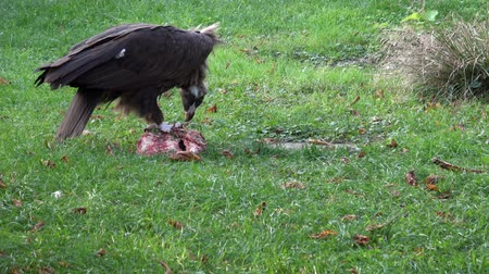 ground meat : A Vulture (Aegypius monachus) feeding on the ground. Stock Footage