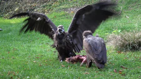 vulture : Vultures (Aegypius monachus) feeding on the ground.