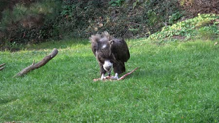 vulture : A Vulture (Aegypius monachus) feeding on the ground. Stock Footage