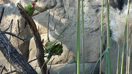 arara : Group of parrots are sitting on a tree branch (Psittacara frontatus). Green parrots