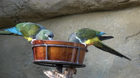 arara : Two parrots eating from a feeder Vídeos
