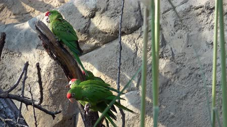ara : Parrots are sitting on tree branch (Psittacara frontatus). Green parrots. Stockvideo