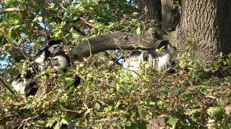 Mantled guereza (Colobus guereza) sitting high on the tree Wideo