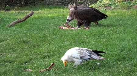 yelow : Vultures (Aegypius monachus, Neophron Percnopterus) feeding on the ground.