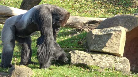 Portrait of a dominant gorilla. (Gorilla gorilla) Wideo