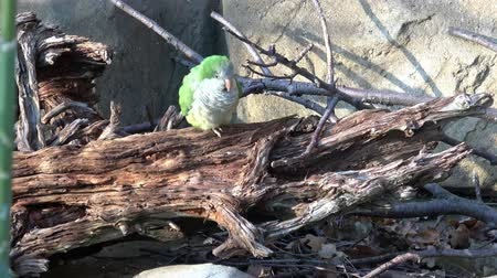 Green Parrot (Myiopsitta monachus) sitting on a tree branch.