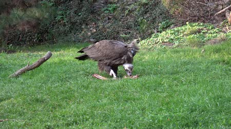 A Vulture (Aegypius monachus) feeding on the ground. Wideo