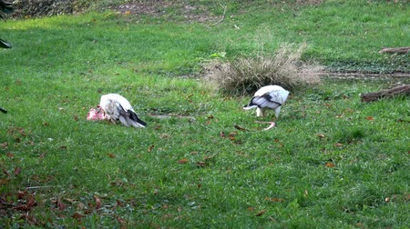 yelow : Vulture (Neophron Percnopterus) feeding on the ground