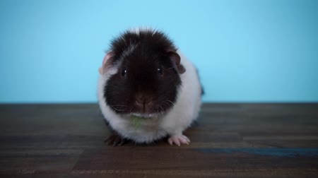 companheiro : Black and white guinea pig sits and eats parsley