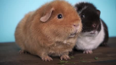 świnka morska : guinea pigs are sitting eating fresh parsley