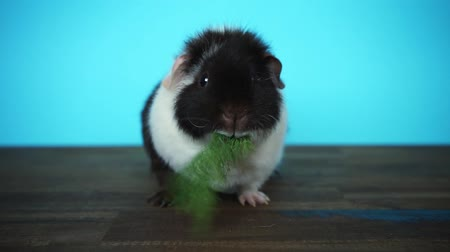 Black and white guinea pig sits and eats parsley