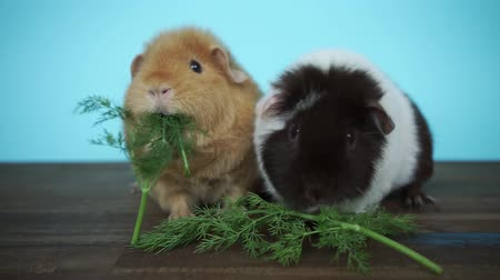 companheiro : guinea pigs are sitting eating fresh parsley