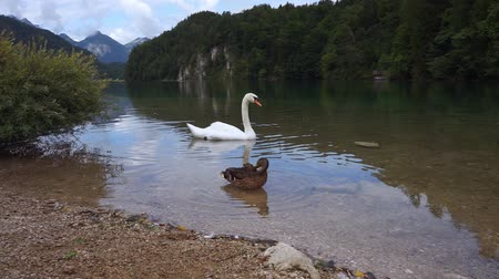 A white swan is floating on the lake.