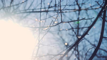 szron : The rime on the branches of trees. Sunny winter weather in the forest. Close-up Wideo